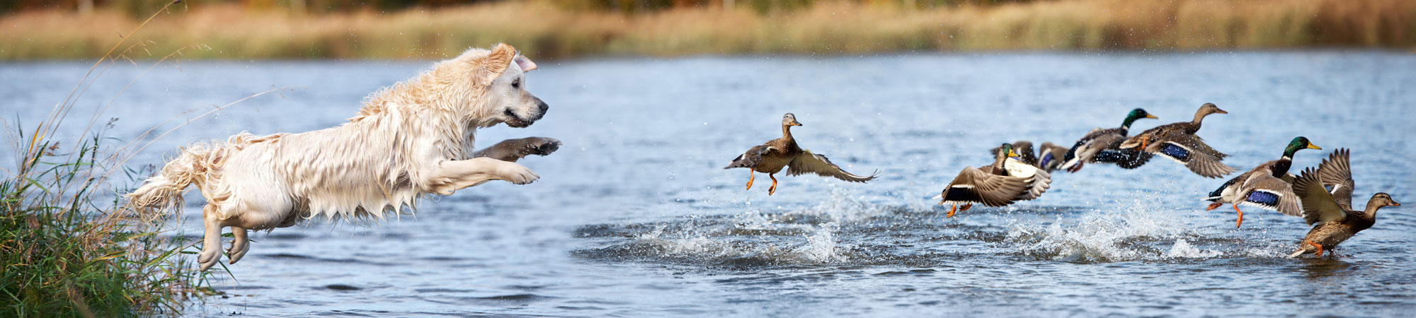 Working dog chasing ducks